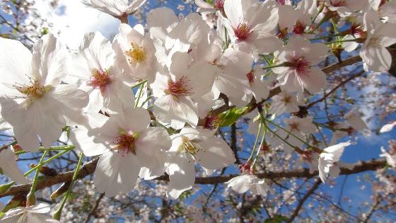 つつじ公園桜画像4