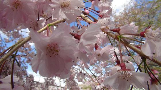 つつじ公園桜画像3