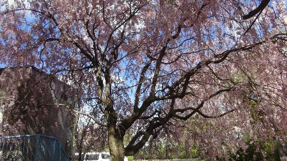 しだれ桜画像2