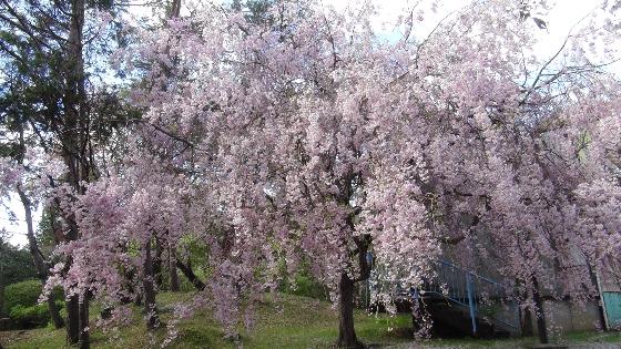 しだれ桜画像1