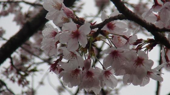 森町桜の花びら画像