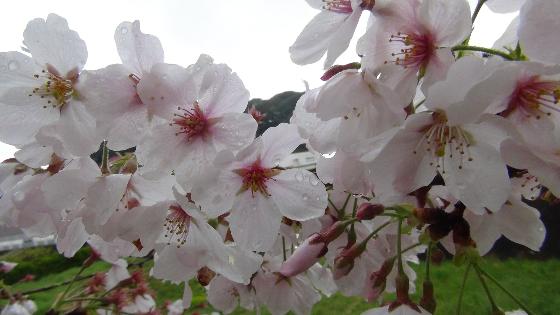 家田地区の桜画像