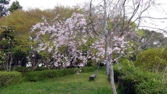 鳥羽山公園桜4