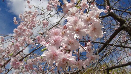 鳥羽山公園桜5