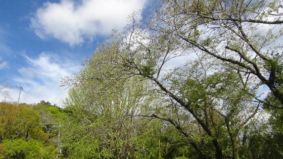 鳥羽山公園桜2