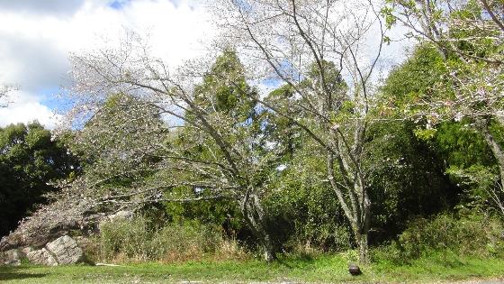 鳥羽山公園桜3