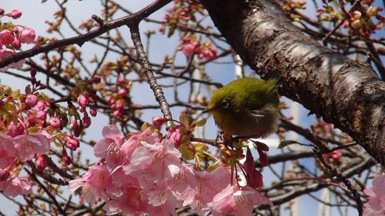 メジロ×河津桜