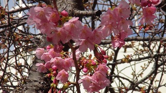 静岡県賀茂郡河津町谷津付近の桜