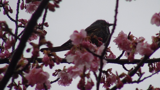 河津桜×ヒヨドリ