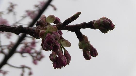 河津桜のつぼみ
