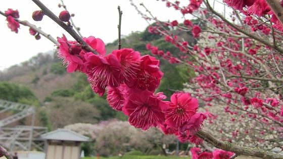 梅の花(3)
