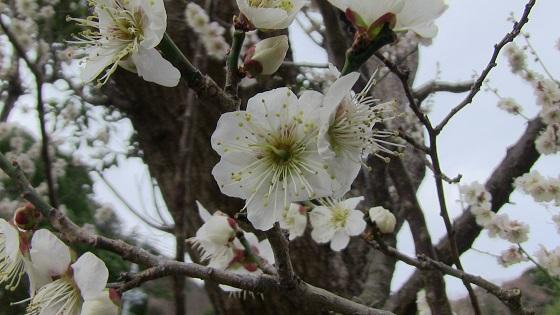 梅の花(1)