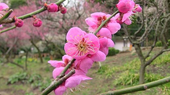 梅の花(2)
