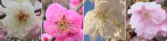 梅・桜・さくらんぼの花びら比較