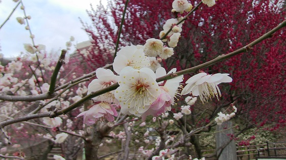 梅の花びら(白)