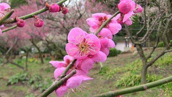 梅の花びら(濃ピンク)