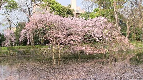 桜×池(1)