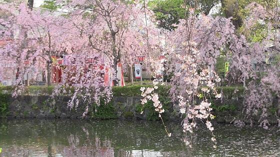 桜×池(2)