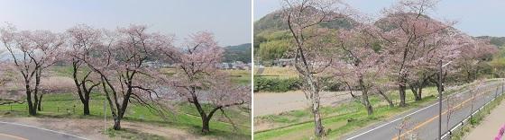 狩野川さくら公園付近の桜写真
