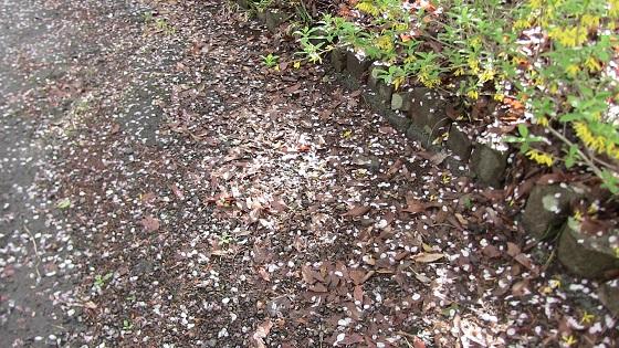 桜が散った後の地面