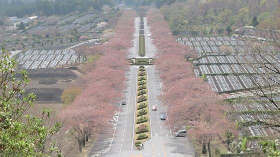 階段上から見える桜並木