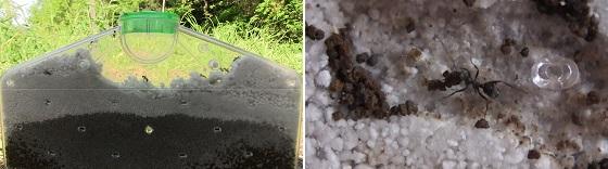 アリの巣(土)