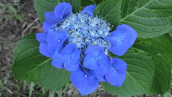 青色系のアジサイ(1)