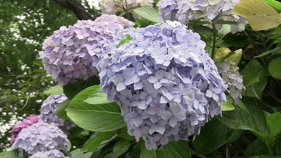紫・ピンク系のアジサイ(3)