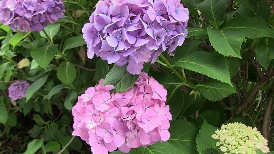 紫・ピンク系のアジサイ(2)