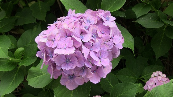 紫・ピンク系のアジサイ(1)