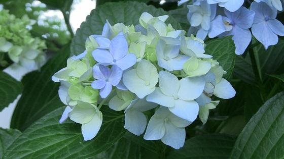 青色系のアジサイ(3)