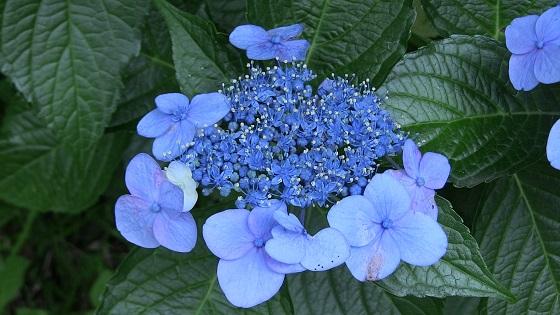 青色系のアジサイ(2)