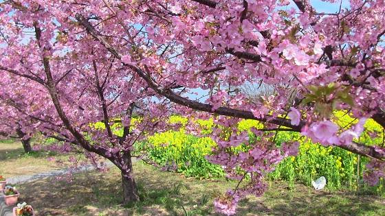 初島の桜(2)