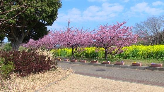 初島の桜(3)