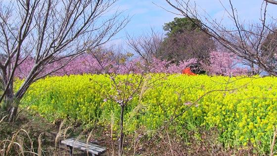 初島の桜(4)