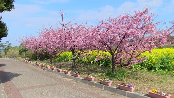 初島の桜(1)