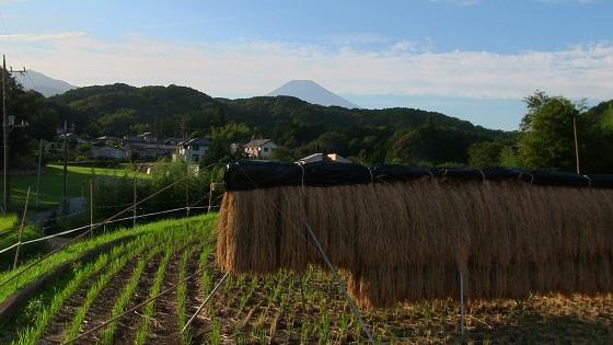 富士山×田園×田舎×稲刈り