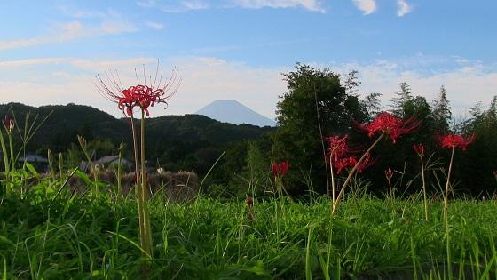 富士山×田園×田舎×稲刈り×彼岸花(1)