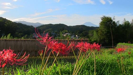 富士山×田園×田舎×稲刈り×彼岸花(2)