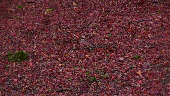 落ち葉の地面(1)
