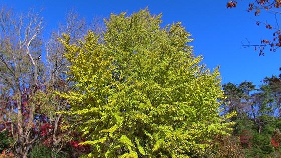 銀杏の木(2)