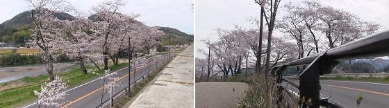 桜並木(2)