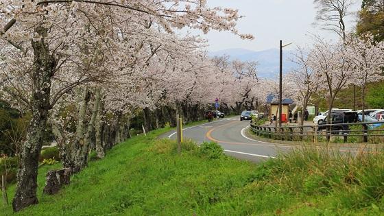 桜並木(3)