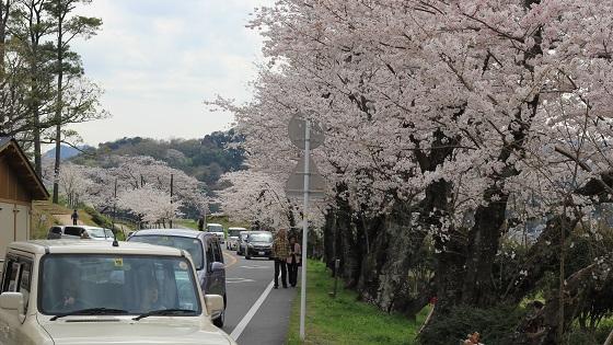 桜並木(1)