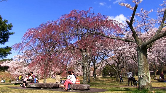 さくらの里の桜(2)