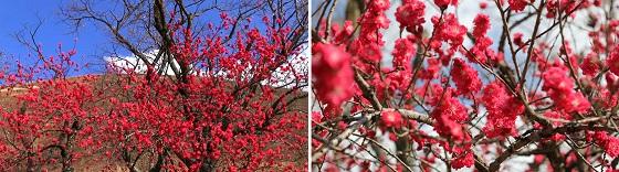 さくらの里の桜(3)