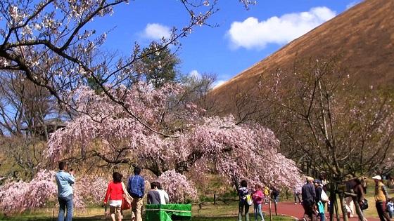 さくらの里の桜(1)