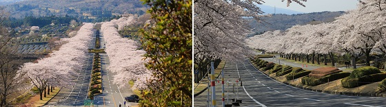 冨士霊園の桜(見頃)