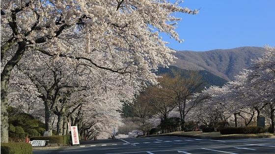 見上げる桜並木(2)
