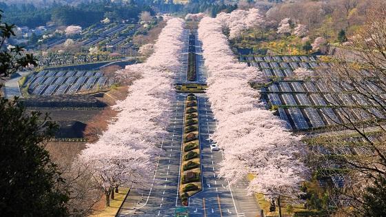 見頃時期の桜並木(冨士霊園)